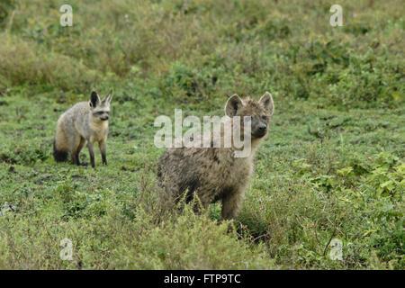 Bat-eared fox wary of curious young spotted hyena, Ngorongoro Conservation Area (Ndutu), Tanzania - Stock Photo