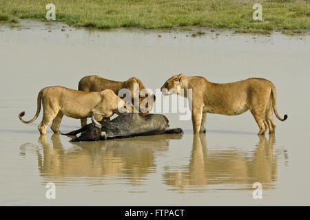 Lions feeding on dead wildebeest in water, Ngorongoro Crater, Tanzania - Stock Photo