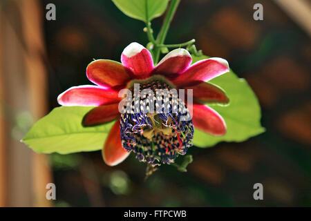 Passion fruit flower - Passiflora alata - Stock Photo