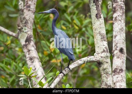 Little Blue Heron - Egretta caerulea - in mangrove Rio Itapanhau - Stock Photo