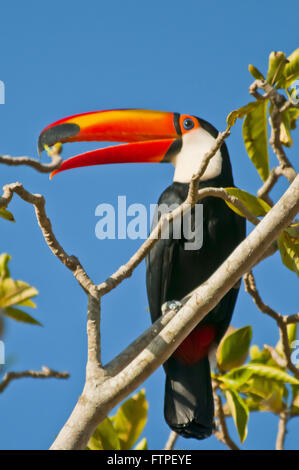 Toucan in tree in Pantanal - Ramphastos toco Stock Photo, Royalty ...