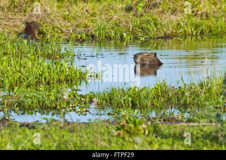 Capybara in the area bathed in the Pantanal - Hydrochoerus Hydrochaeris - Stock Photo