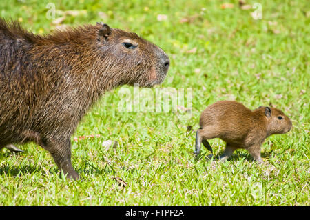 Capybara in Pantanal and cub - Hydrochoerus Hydrochaeris - Stock Photo