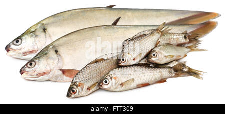 Bronze featherback with swamp barb of Indian subcontinent - Stock Photo