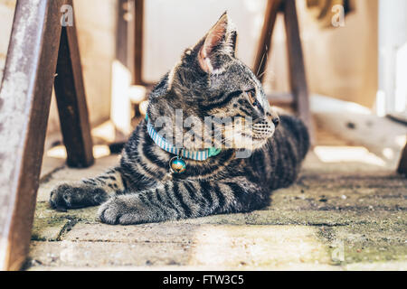 Young pretty striped grey tabby cat wearing a blue collar lying looking back intently over its shoulder as it watches - Stock Photo
