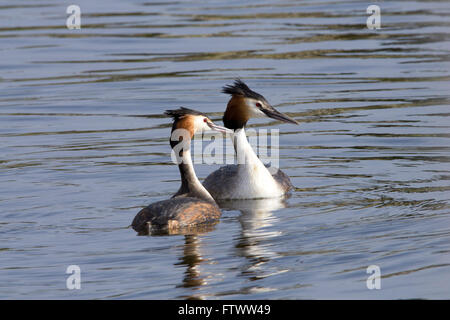 Great crested grebes in courtship display - Stock Photo