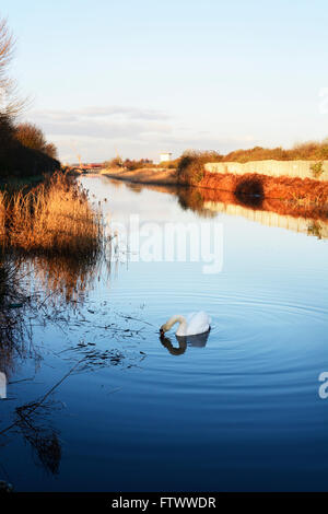 Swan on the Sankey Canal near Widnes Warth Nature Reserve. Part of the St. Helens Canal which joins widnes and St. - Stock Photo