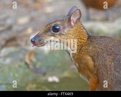 A timid Lesser Mouse Deer drinking at a small pool in the forest in Thailand