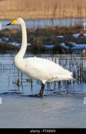 Whooper swan (Cygnus Cygnus) standing on the edge of the ice at frozen lake in Finland in spring. - Stock Photo