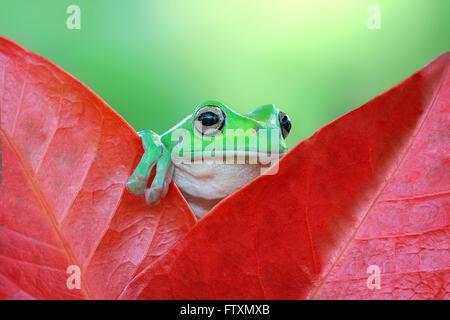 Dumpy Tree frog sitting on a leaf, Indonesia - Stock Photo