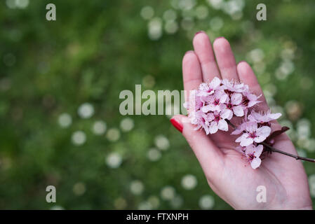 Woman holding pink cherry blossom flowers in her hand - Stock Photo