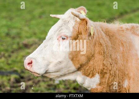 Cow head shoot, farming concept. rare bread. - Stock Photo
