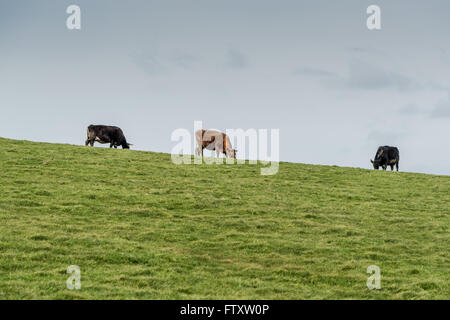Herd of cows grazing on green grass, farmong concept - Stock Photo