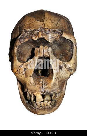 Homo ergaster Skull Nariokotome Boy - Stock Photo