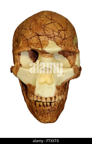 Front View Of Homo sapiens Skull Skhul 5