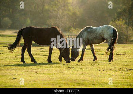 New Forest ponies near Beaulieu Road, Hampshire, England. - Stock Photo