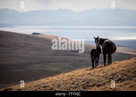 Kyrgyzstan, Kirghizistan, Song Kul lake, Asia, Central Asia, horses. - Stock Photo