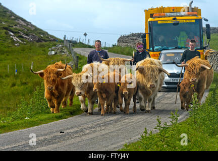 Highland cattle herd with a calf on the hills of Exmoor ...