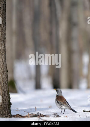 Fieldfare (Turdus pilaris) just after season migration in spring forest. Moscow region, Russia - Stock Photo