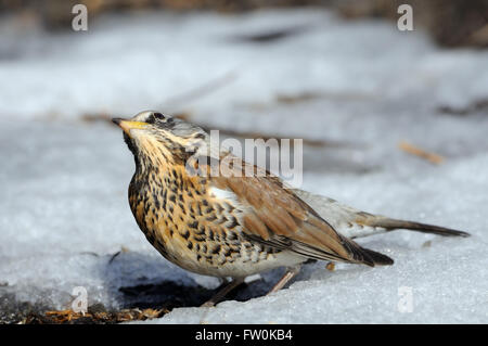 Fieldfare (Turdus pilaris) basks at the sun just after season migration arriving in spring field - Stock Photo