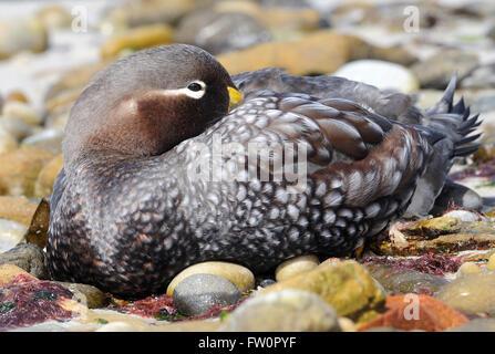 A Falkland Steamer Duck or Logger (Tachyeres brachypterus) on the beach at  Carcass Island. . Carcass Island, Falkland - Stock Photo