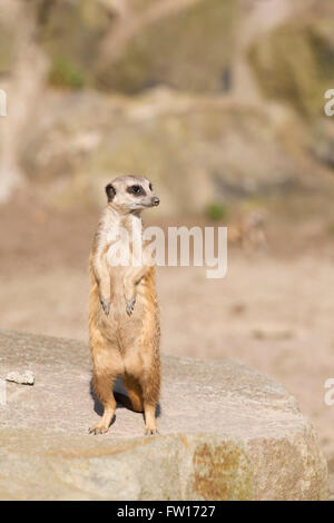 A meerkat (Suricata suricatta) stands on its hind legs. The animal is also known as the suricate. - Stock Photo