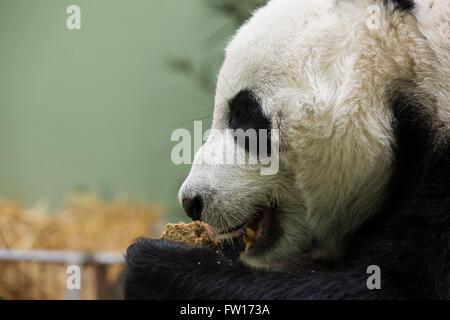 A female giant panda (Ailuropoda melanoleuca) eating food.