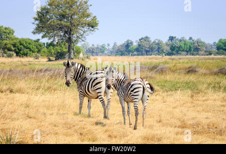 Plains or Burchell's zebra (Equus burchellii, Equus quagga), Sandibe Camp, by the Moremi Game Reserve, Okavango - Stock Photo