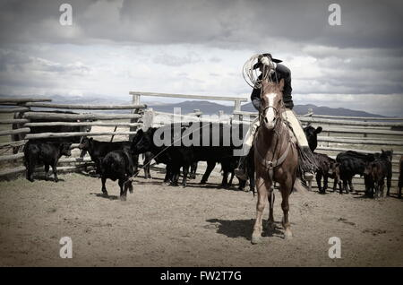 American Cowboy on horse dragging calf to branding fire.  Black cattle behind him and his sorrel horse - Stock Photo
