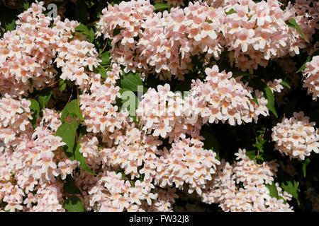 Pink blooming Beauty Bush (Kolkwitzia amabilis), garden shrub, Bavaria, Germany - Stock Photo