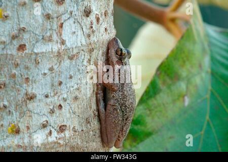 Lesser Snouted Treefrog (Scinax nasicus) on tree bark, Pantanal, Mato Grosso, Braslien - Stock Photo