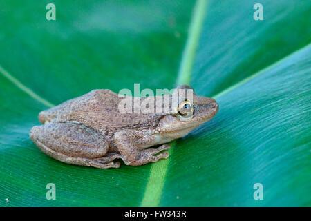 Lesser Snouted Treefrog (Scinax nasicus) sitting on leaf, Pantanal, Mato Grosso, Braslien - Stock Photo