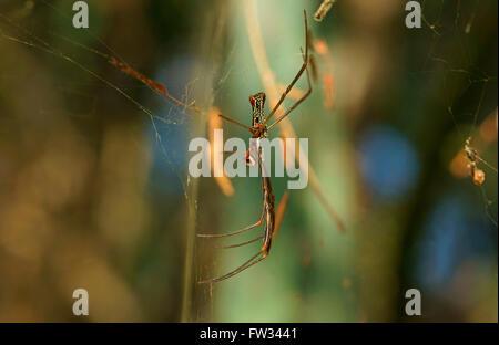 Golden silk orb-weaver (Nephila sp.) in the net, Pantanal, Mato Grosso, Brazil - Stock Photo