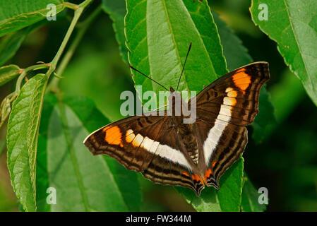 Nymphalidae (Nymphidae) Tropical butterfly (Doxocopa linda), Iguazú National Park, Paraná, Brazil - Stock Photo