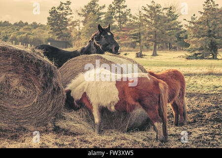 Horses eating a straw bale in the morning - Stock Photo