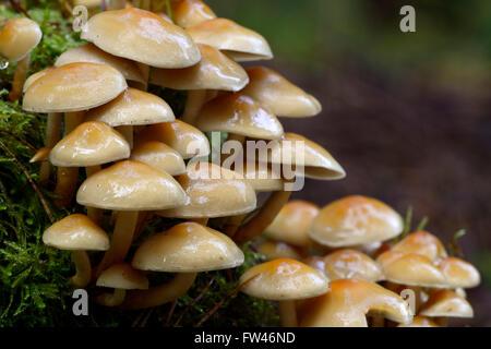 Rauchblaettriger Schwefelkopf (Hypholoma capnoides), Brandenburg, Deutschland, Europa - Stock Photo