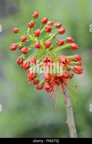 Bluete von Sutherlands Greyie (Greyia sutherlandii), Vorkommen Suedafrika - Stock Photo