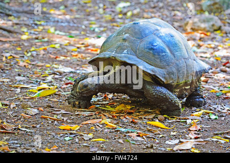 Aldabra-Riesenschildkroete (Geochelone gigantea), Insel Cousin, Seychellen - Stock Photo