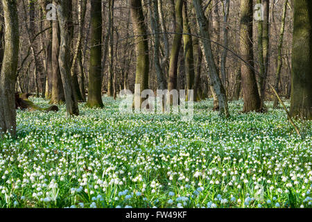 Spring snowflake field in the middle of an ancient oak forest - Stock Photo