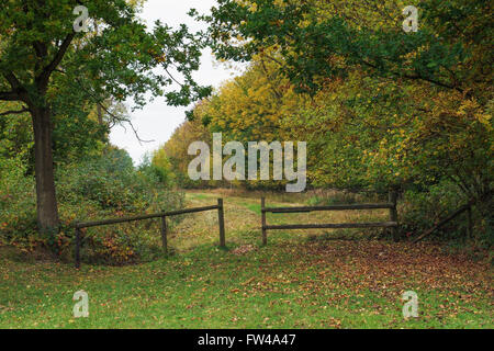 An avenue of oak and beech trees in a woodland. - Stock Photo