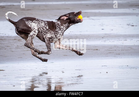 A dog running playing catch on a beach at Westward Ho in Devon, UK - Stock Photo