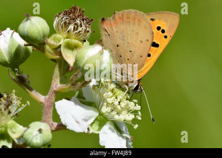Small copper butterfly (Lycaena phlaeas). Small butterfly in the family Lycaenidae nectaring on bramble, with underside - Stock Photo