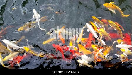 Colorful koi fish swimming in the pond - Stock Photo