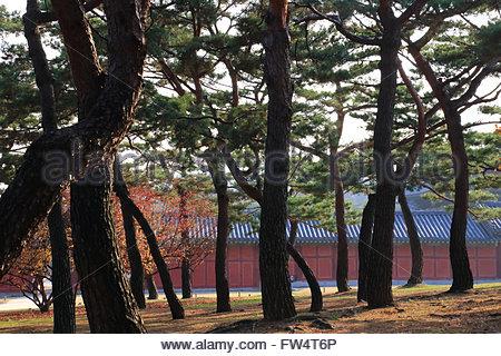 Pine tree forest at Changgyeonggung Palace - Stock Photo