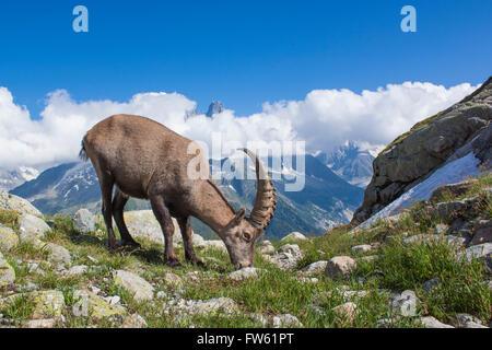 Alpine Ibex  (Capra ibex) in Mont Blanc  - France - Stock Photo