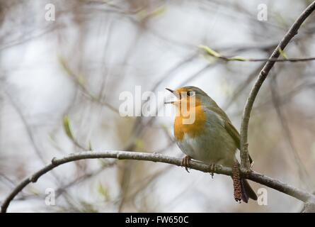 Singing European robin (Erithacus rubecula) perched on a twig, Hesse, Germany - Stock Photo