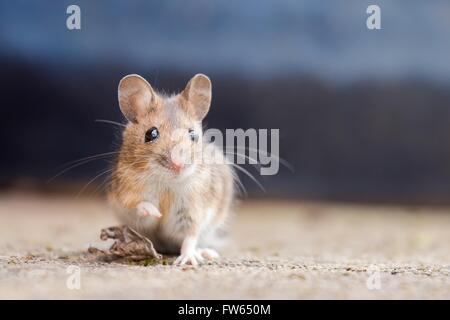 House mouse (Mus musculus), Portrait, Hesse, Germany - Stock Photo