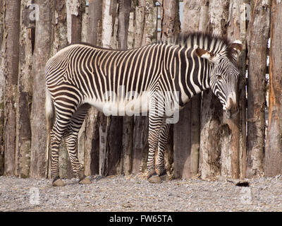 A Grevy's zebra (Equus grevyi) camouflaged against a fence made from logs - Stock Photo