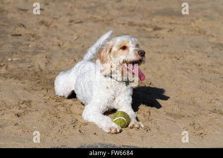 Happy dog playing on New Brighton Beach, Wallasey, Merseyside,UK - Stock Photo