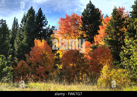 Red Quaking Aspen trees - Stock Photo